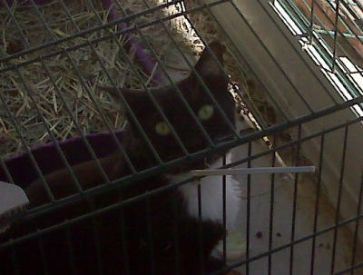 Bop grew up to disdain other animals, with one exception. She enjoyed our rabbit Cookie, a bold and aggressive rescue bunny. Bop loved to hang out in Cookie's cage. An extreme sport. Cookie would have killed anybody (not an exaggeration) she caught in her cage.