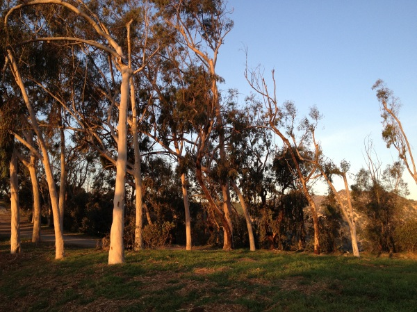 Eucalyptus trees at dawn.