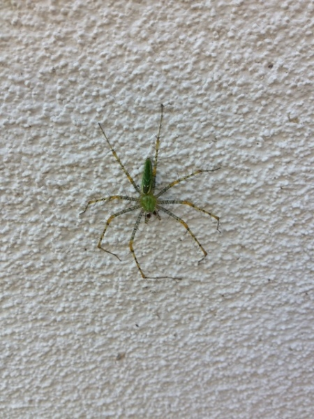 Is this a Green Lynx spider?