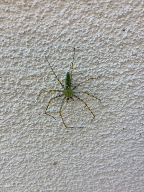 Green Lynx spider on a wall outside my house.