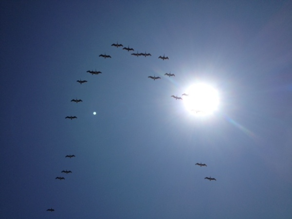 pelicansquadron