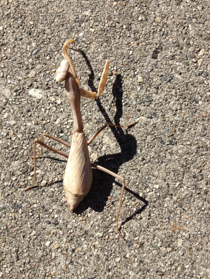 Walking Stick on a sidewalk in Pasadena, California.