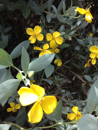 Imagine these flowers filling your screen and your vision. That is the Spring experience near a Channel Island Bush Poppy.