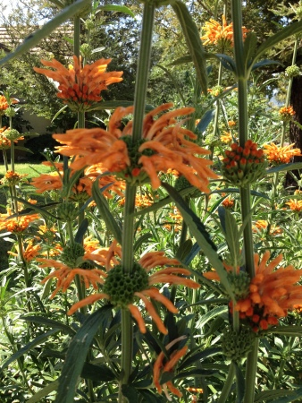 The... er... one with tall spikes of orange flowers.