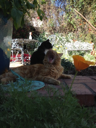 Leo in foreground, another possible plant-murdering suspect, Arrow, behind him. Not yet trampled poppy in foreground.